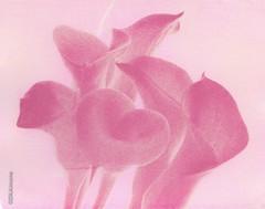 Calla Lillies (DKAIOG) Tags: flowers film gumbichromate
