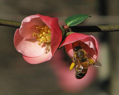 more December bees ... (Vicki's Nature) Tags: pink two yard canon georgia december dof bokeh pair blossoms bee pollen honeybee s5 threecolors floweringquince 2841 touchofyellow
