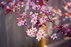 3/5/16 - Daytime Bloom (camknows) Tags: flowers plumblossoms