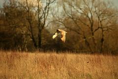 pg__000120403 (Phil Grain) Tags: phil leicestershire grain short owl eared rothley cossington leicestershireandrutlandwildlifetrust
