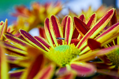 Untitled. (vanessa risoli.) Tags: red orange flower macro love colors beautiful yellow amazing nikon vivid fiore insetto pianta acceso vividcolor beautifulcolor profonditàdicampo amazingcolor nikond3100