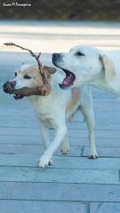 Pitu & Kai (Haast's eagle) Tags: dog white blanco mobile labrador phone can perro smartphone kai cachorro canino 47 móvil pitu móbil 720x1280 47720x1280blancocachorrocancaninodogkailabradormobilemóbilmóvilperrophonepitusmartphonewhite4747