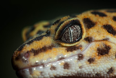 Marmalade_2.jpg (clifford.pugliese) Tags: orange cliff macro yellow closeup eyes eyecontact pattern lizard scales micro gecko marmalade leopardgecko pugliese cliffordpugliese cliffordpugliesephotography