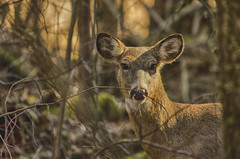 Spotted (flashfix) Tags: trees portrait usa ny newyork nature animal woods nikon branches unitedstatesofamerica doe deer trail syracuse mothernature whitetaileddeer naturetrail baldwinsville 2016 pecora cervidae d7000 nikond7000 55mm300mm 2016inphotos march262016 beaverlakenaturecentre