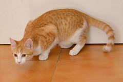 Gato Jinks  (11) (adopcionesfelinasvalencia) Tags: gato jinks