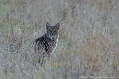 Bobcat (fascinationwildlife) Tags: california winter wild usa nature animal america cat mammal big feline wildlife natur central meadows rufus valley elusive bobcat predator lynx luchs rotluchs