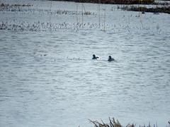 Pair of tufted ducks at Marwick (Dunnock_D) Tags: uk bird water grass birds swimming reeds scotland duck pond orkney unitedkingdom ducks grasses tuftedduck lochan marwick tuftedducks theloons