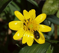 2016_03_0542 (petermit2) Tags: wood fly yorkshire beetle celandine doncaster southyorkshire lessercelandine brodsworth hampole hootonpagnell hampolewood