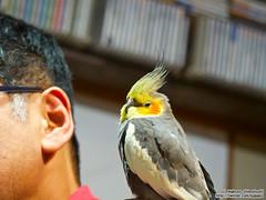 Cockatiel with me (over_frost) Tags: japan  cockatiel saitama sayama  10yo   10