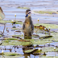 junior II (Fat Burns ☮) Tags: bird fauna duck ducklings waterbird bribieisland australianbird pacificblackduck anassuperciliosa australianfauna buckleyshole nikond750 sigma150600mmf563dgoshsmsports sigmateleconvtc1401nik
