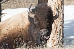 Tasty (Kathy~) Tags: animal nationalpark hp montana yellowstone wyoming fc bison