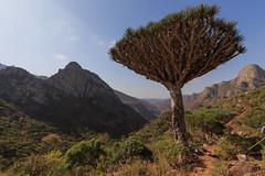 Dragon blood tree, on the way to Firmhin plateau, Socotra, Yemen (valerian.guillot) Tags: tree zeiss blood dragon endemic ye hadramaut socotra yémen