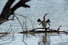 Darter (iansand) Tags: bird narrabeen darter