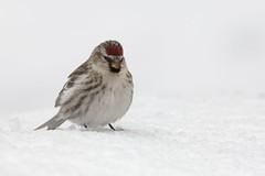 nikon D2Xs (Rich de Tilly utilisateur Nikon) Tags: bird nature animal nikon attitude oiseau 300mmf4 animalier 300f4 d2xs nikond2xs afs300mmf4 naturesauvage