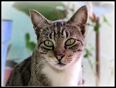 Lindos ojos (MaPeV) Tags: cats canon chats chat tabby kitty gatos powershot gato kawaii neko katze morris gatti felin gattoni gattini g16 tabbyspoted bellolindoguapetn