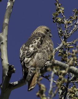Red-TailedHawk_SAF2683-1