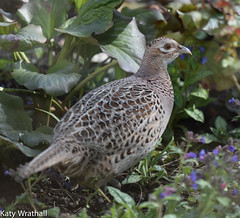Lady pheasant leaves (Katy Wrathall) Tags: england birds female march spring pheasant feeders eastyorkshire 2016 eastriding