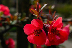 Chaenomeles japonica (carlo.goweather) Tags: japan canon giappone chaenomeles cotogno eos100d