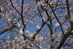 Cherry blossoms are  here!  Full screen view is best (neil.gilmour) Tags: flowers flower tree philadelphia cherry spring pennsylvania blossoms cherryblossoms wynnewood montgomerycounty