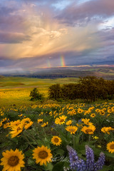 Wonderland (rootswalker) Tags: flowers clouds oregon washington rainbow heaven wind pacificnorthwest wildflowers drama pnw columbiagorge balsamroot lupines carlzeiss clearingstorm nikond800 distagont2821 carlzeis21mm