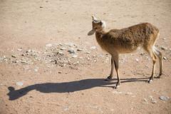 Cobo (Mauro_Amoroso) Tags: wild nature animal animals zoo nikon adventures nationalgeographic natgeo nital lecornelle parcofaunistico nikonitalia parcofaunisticolecornelle