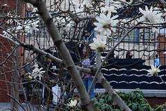 Tribeca (Terese Loeb) Tags: newyorkcity school newyork spring manhattan bloom tribeca lowermanhattan floweringtree downtownmanhattan