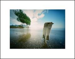 Sea turtle rib (art y fotos) Tags: trees 120 film mediumformat hawaii oahu handmade bamboo pinhole homemade turtles mangrove ribs bones honu flotsam 6x45 seaturtles bambole beachcombing carapace mokolii waiahole kodakektar100 bamboopinholecamera lebambolemkxv weekendpinholecamera
