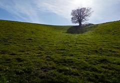 Dip (Hilary Causer) Tags: sunlight tree green field rural landscape horizon bluesky farmland minimal backlit lonetree onetree shapeoftheland