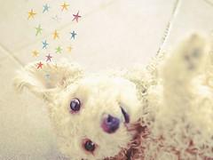 *** (chalisa86) Tags: summer dog pet hot square squareformat lovely   listen       dogoftheday  doglover poodletoy poodlelove     iphoneography  instagramapp uploaded:by=instagram  dogstagram dogofthedayjp dogsofig poodlesofinstagram pianolinlin