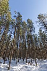 Martimoaapa (Juho Holmi) Tags: martimoaapa martimo swamp mire reserve suo nature aapa suomi finland finnland finlandia beautiful skiing ski winter snow lumi simo kemi keminmaa lappi lapland pohjoinen pohjoissuomi north northern europe eurooppa finnish wilderness hut autiotupa pentax k5 k 5 sigma 1020mm f35 35 1020 10 20 recreational recreation luonnon suojelu alue luonnonsuojelualue sports talvi snö ricoh ex dc hsm thisisfinland visitfinland