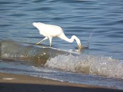 Gotcha - fishing pro at the beach (schiiiinken) Tags: white beach fb urlaub egypt resort gypten hurghada vogel scb 2016
