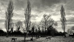 Return of Winter. (elam2010) Tags: morning trees shadow england cold animals rural countryside blackwhite frost fuji sheep silhouettes frosty farmland pastoral darkclouds wirral wintry xpro1