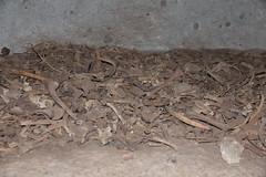 Domus de Janas Sas Concas, (falco2014) Tags: grab domus sardinien pfeiler knochen corni hrner megalithkultur domusdejanas protomi sardienien042016canon2