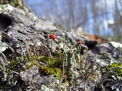 Matchstick Lichen (ParkerRiverKid) Tags: wood moss dry lichen dried matchsticklichen scavenger7 ansh69