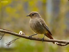 Hausrotschwanz (GerWi) Tags: nature birds animals tiere nest natur vgel weibchen hausrotschwanz tierwelt singvgel futterplatz