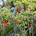 Flor del árbol del coral (Erythrina) - SLP México 160430 185051 3835 RX10M2