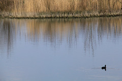 Coot (nataliemarchant) Tags: birds yorkshire coot eastyorkshire yorkshirewildlifetrust northcavewetlands