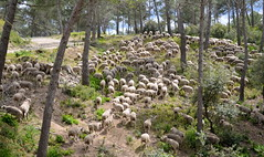 Traffic jam in Provence... (HervelineG) Tags: provence sheeps moutons alpilles strmydeprovence d7000 herdofsheeps troupeaudemouton