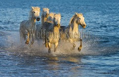 40081097 (wolfgangkaehler) Tags: horse white france beach water french europe mediterranean european running splash herd mediterraneansea eveninglight camargue southernfrance splashing galloping 2016 whitehorses camarguehorses
