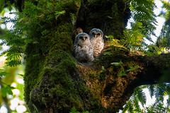 Then There Were Two (OwlPurist) Tags: oregon portland barredowletsstrixvaria