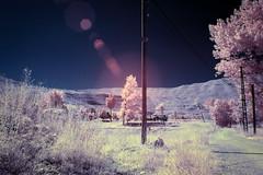 Pink Nature (jrseikaly) Tags: pink lebanon plants tree nature canon ir jack photography 7d infrared arz infra cedars seikaly jrseikaly