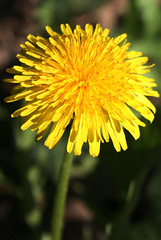 DANDELION in Staten Island, New York, USA. April, 2016 (Tom Turner - SeaTeamImages / AirTeamImages) Tags: nyc usa newyork nature yellow spring weed unitedstates statenisland edible bigapple asteraceae springtime perennial taraxacum taraxacumofficinale florets herbaceous tomturner lionstooth dendelion companionplant taprooted honeyplant beneficialweed