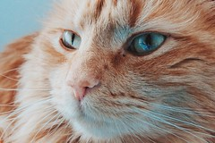 Cool cat (Shay_Marie) Tags: blue portrait orange pet cute cat ginger eyes adorable kitty whiskers furbaby vsco vscocam