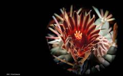 Colori di Primavera (Paolo Bonassin) Tags: flowers cactus cactaceae succulente cactacee
