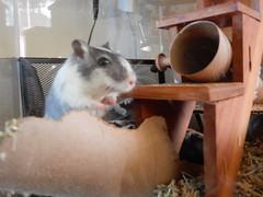 DSCN0789 (therovingeye) Tags: pets gerbil rodents gerbilhabitat