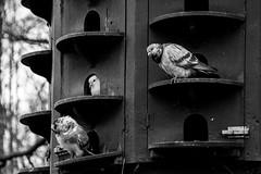 35/365 (theaftergloweffect) Tags: park wood trees blackandwhite bw white black monochrome birds grey gris blackwhite noir noiretblanc bokeh pigeons nb depthoffield arbres parc bois oiseaux blanch noirblanc profondeurdechamps