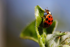 bin auch wieder da... (bauingenieuse) Tags: rot apple garden insect spring ladybird ladybug hungry blau insekt garten ladybeetle blauerhimmel bunt appletree apfelbaum kfer frhling marienkfer 2016 frhjahr apfelblte punkte hungrig blattluse bauingenieuse