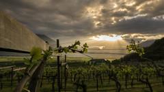 In the vineyard (El.buitre) Tags: morning sun mountain berg clouds landscape vineyard spring ray wolken vine landschaft sonne morgen sonnenstrahlen sunray sdtirol frhling southtyrol weinberg rebe strahlen a6000 samyang12mmf2