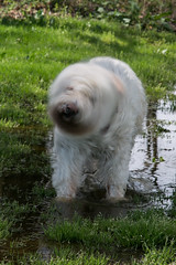 GY8A3131.jpg (Brad Prudhon) Tags: dog pet blur wet water animal fun puddle mutt play spin twist blurred spray terrier soak shake twisted soaked lollie rotate whirl shaken revolve spindoctor