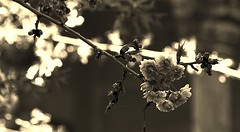 A present from somewhere (Yoli Of Shalott) Tags: flowers naturaleza flores detalle detail nature monochrome sepia